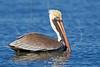 Brown Pelican, Swimming,<br /> East Beach, Galveston, Texas