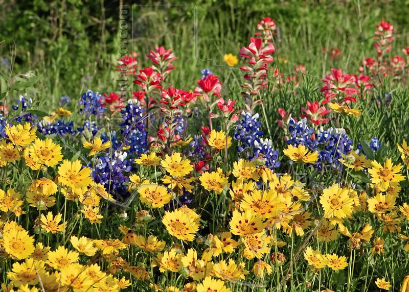 Texas Bluebonnet  (lupinus texensis), Texas Paintbrush (castilleja indivisa) and Nueces Coreopsis (coreopsis nuecensoides),<br /> Nordheim, Dewitt County, Texas