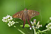 Long-tailed Skipper Butterfly (Urbanus proteus),<br /> Brazos Bend State Park, Texas