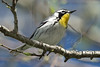 Yellow-throated Warbler,<br /> Quintana Neotropical Bird Sanctuary, Quintana, Texas