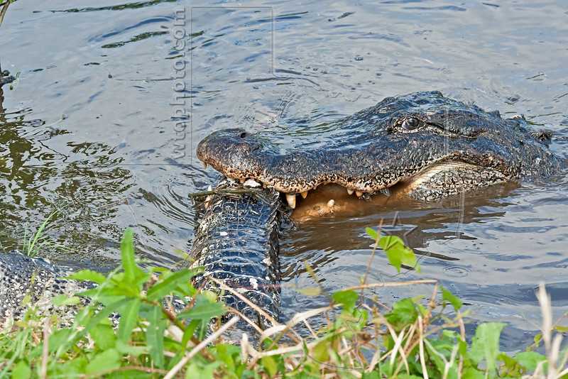 You 'Gettin This Camera Guy?<br /> American Alligator, Eating an Alligator,<br /> Tail Separated from Body,<br /> Brazos Bend State Park, Texas