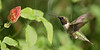 Black-chinned Hummingbird,<br /> Quintana Neotropical Bird Sanctuary, Quintana, Texas