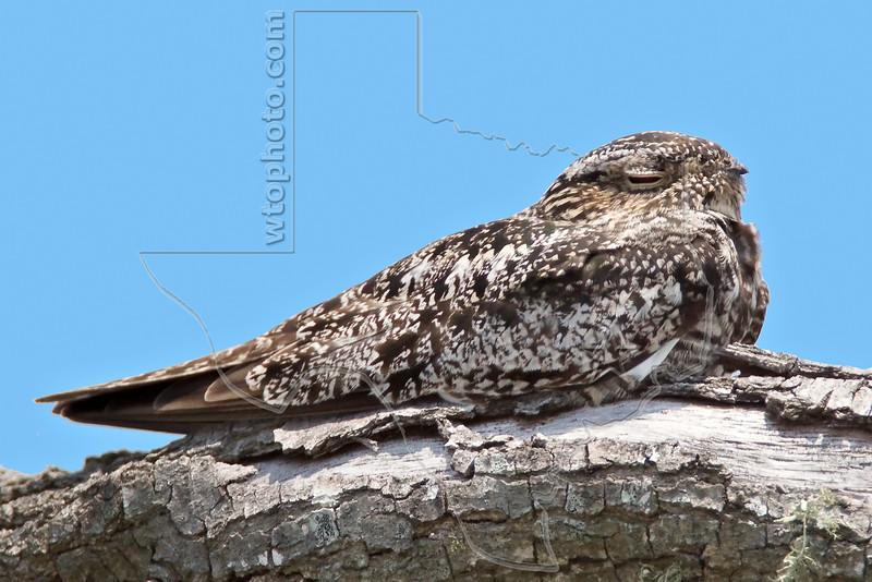 Common Nighthawk,<br /> Lafitte's Cove, Galveston, TX