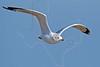 Ring-billed Gull, Flight<br /> Bolivar Flats Shorebird Sanctuary - Texas
