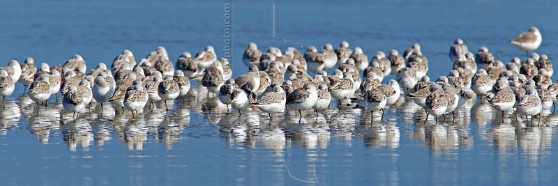 Sanderlings, Resting<br /> Bolivar Flats Shorebird Sanctuary - Texas