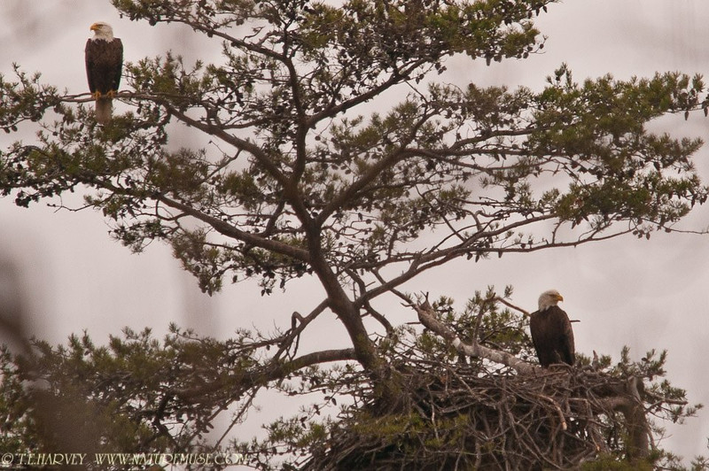 "Adult eagle parents watching over nest with two eaglets(tucked in nest hiding)-April 3, 2011, Mason Neck Park, Virginia. See eaglets in next photo ( <a href=""http://www.naturemuse.com/Recent-Photos/Recent-Photos/8196293_F56RVs#1462998247_T6BnCZv"">http://www.naturemuse.com/Recent-Photos/Recent-Photos/8196293_F56RVs#1462998247_T6BnCZv</a> )"