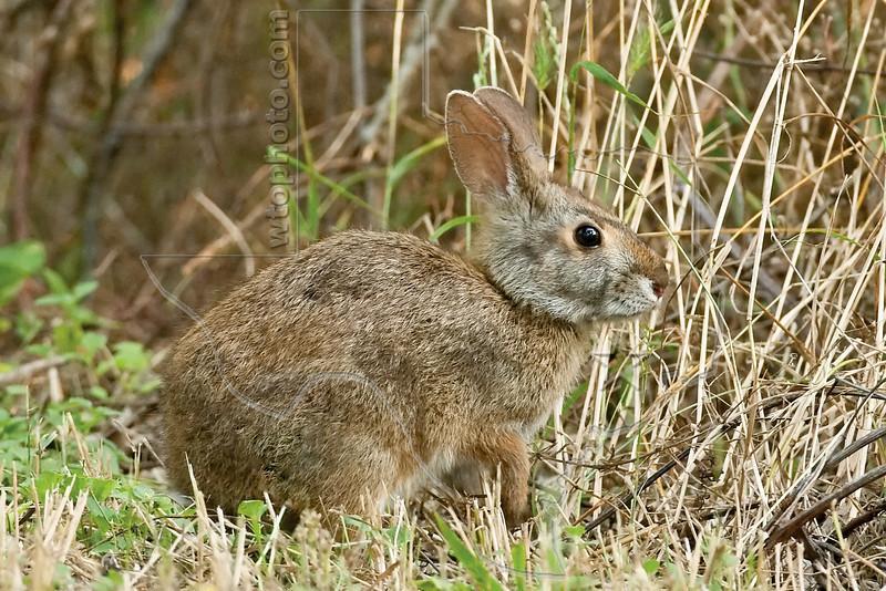 Swamp Rabbit, <br /> Brazos Bend State Park, Texas