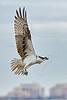 Osprey Lifting Off,<br /> East Beach, Galveston, Texas