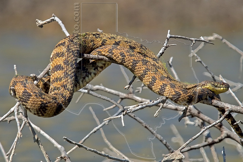 Diamond-backed Water Snake (non-venemous), <br /> Sunning on Branches in a Pond,<br /> near Nordheim, TX