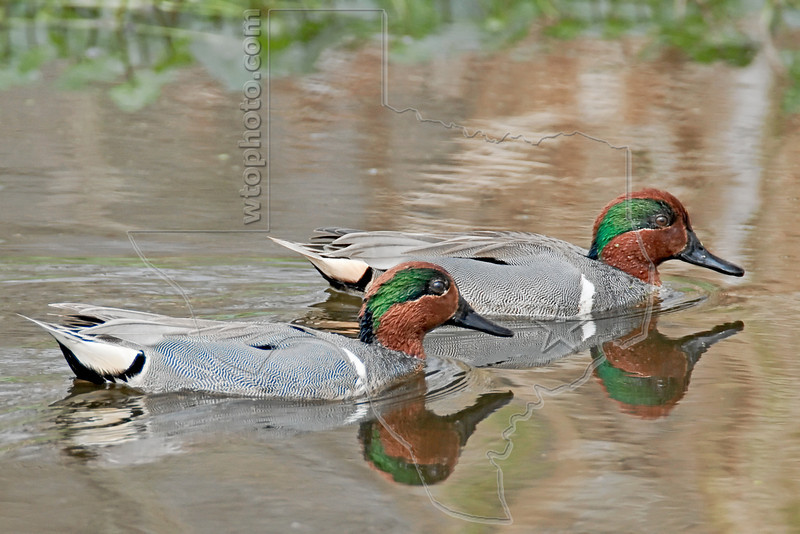 Green-winged Teal,<br /> Brazos Bend State Park, Texas
