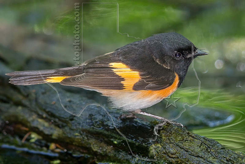 American Redstart, Male,<br /> Lafitte's Cove, Galveston, TX