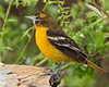 Baltimore Oriole, Immature Male,<br /> Quintana Neotropical Bird Sanctuary, Quintana, Texas