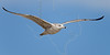 Juvenile Herring Gull, Flight,<br /> Matagorda Island, TX