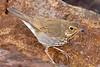 Swainson's Thrush,<br /> Quintana Neotropical Bird Sanctuary, Quintana, Texas