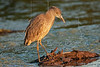 Yellow-crowned Night Heron, Juvenile,<br /> Sunset Light,<br /> Brazos Bend State Park, Texas