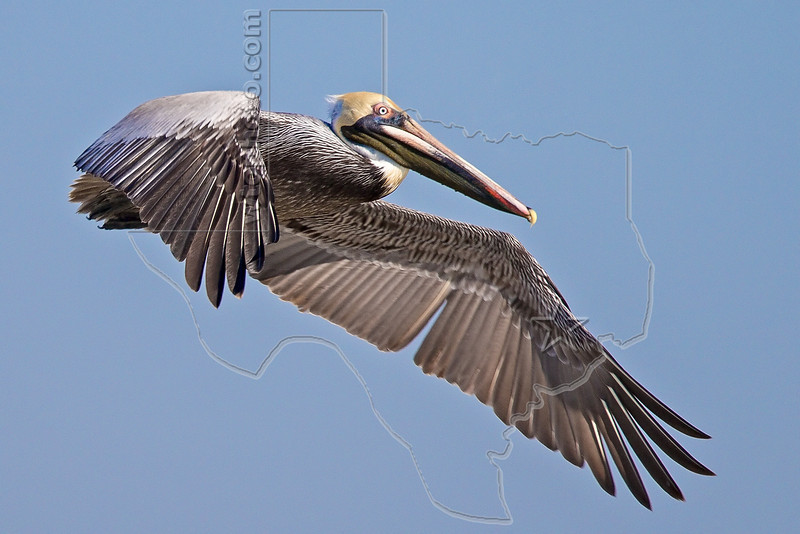Brown Pelican, Flight,<br /> Matagorda Island, TX