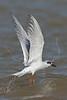 Forster's Tern, Flight,<br /> Matagorda Island, TX