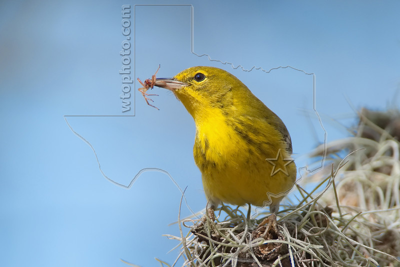Pine Warbler, Eating Insect, Male,<br /> Hermann Park, Houston, Texas