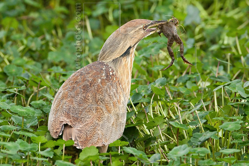 American Bittern, Eating Frog,<br /> Brazos Bend State Park, Texas