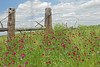 Wine Cup (callirhoe involucrata)<br /> Nordheim, Dewitt County, Texas