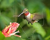Ruby-throated Hummingbird,<br /> Quintana Neotropical Bird Sanctuary, Quintana, Texas