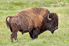 Buffalo Grazing in Lamar Valley,<br /> Yellowstone National Park, Wyoming<br /> Wyoming, USA
