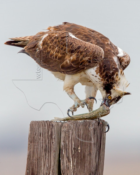 Osprey Eating Fish,<br /> East Beach, Galveston, Texas