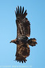 Young Eagle at Mason Neck Wildlife Refuge