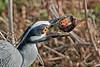 Yellow-crowned Night Heron, Eating Crayfish,<br /> Brazos Bend State Park, Texas