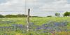 Texas Bluebonnet  (lupinus texensis) and Texas Paintbrush (castilleja indivisa) <br /> Nordheim, Dewitt County, Texas