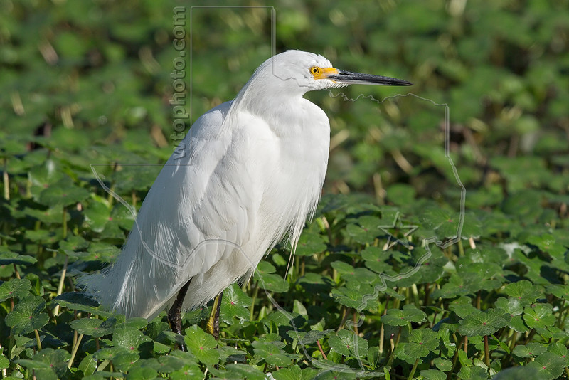 Snowy Egret,<br /> Brazos Bend State Park, Texas