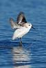 Sanderling, Start of Flight,<br /> East Beach, Galveston, Texas