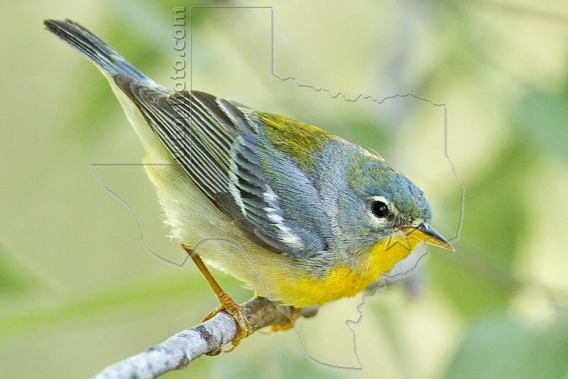 Northern Parula, Female,<br /> Quintana Neotropical Bird Sanctuary, Quintana, Texas