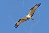 Osprey, Flight,<br /> Matagorda Island, Texas