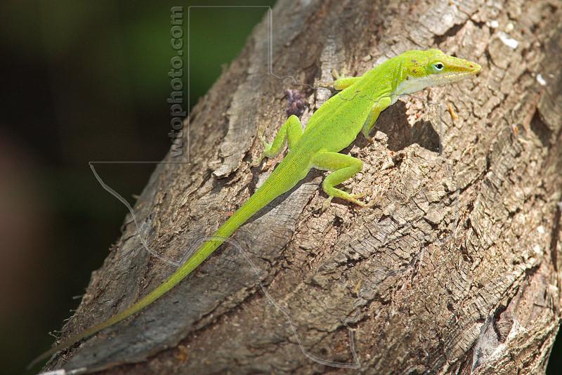 Green Anole Lizard, Male (Anolis carolinensis),<br /> Lafitte's Cove, Galveston, TX