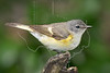 American Redstart, Female,<br /> Lafitte's Cove, Galveston, TX