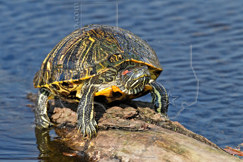 Red-earded Slider Turtle,<br /> Brazos Bend State Park, Texas