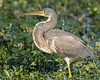 Tri-colored Heron, Male,<br /> Brazos Bend State Park, Texas