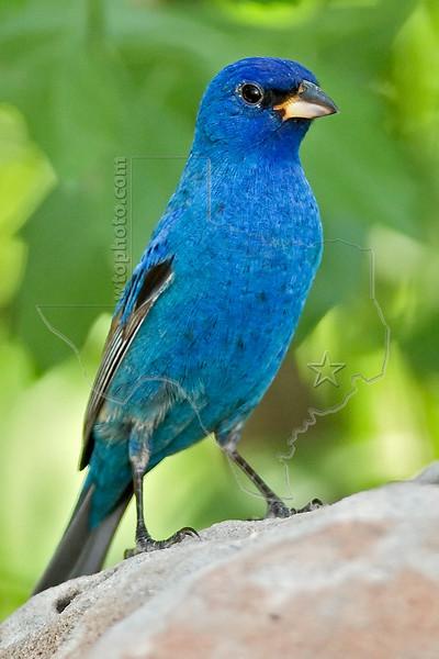 Indigo Bunting, Male,<br /> Quintana Neotropical Bird Sanctuary, Quintana, Texas