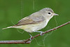 Warbling Vireo,<br /> Quintana Neotropical Bird Sanctuary, Quintana, Texas