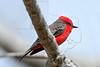 Vermillion Flycatcher, Male,<br /> Brazos Bend State Park, Texas