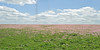 Showy Primrose (oenothera speciosa),<br /> Nordheim, Dewitt County, Texas