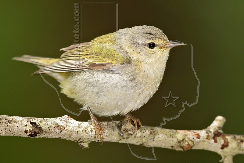 Tennessee Warbler, Male,<br /> Lafitte's Cove, Galveston, TX