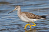 Greater Yellowlegs,<br /> Brazoria National Wildlife Refuge, Texas