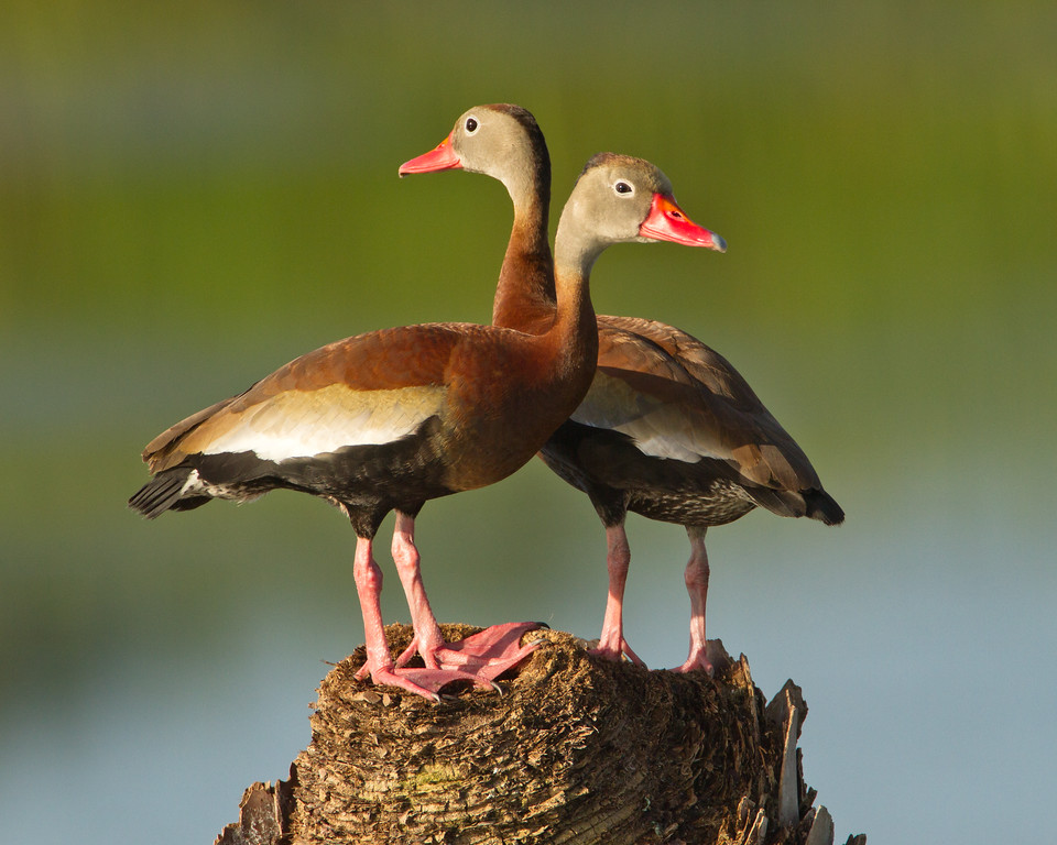 "Black-bellied Whistling Duck  <a href=""http://www.wklein.smugmug.com"">http://www.wklein.smugmug.com</a>"