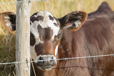 A curious calf - Joe Overstreet road, Kenansville Florida