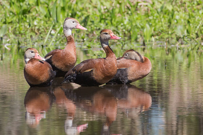 Black-bellied Whistling ducks; Orlando Wetlands, Florida  www.wklein.smugmug.com