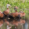 Black-bellied whistling ducks at Orlando wetlands park.