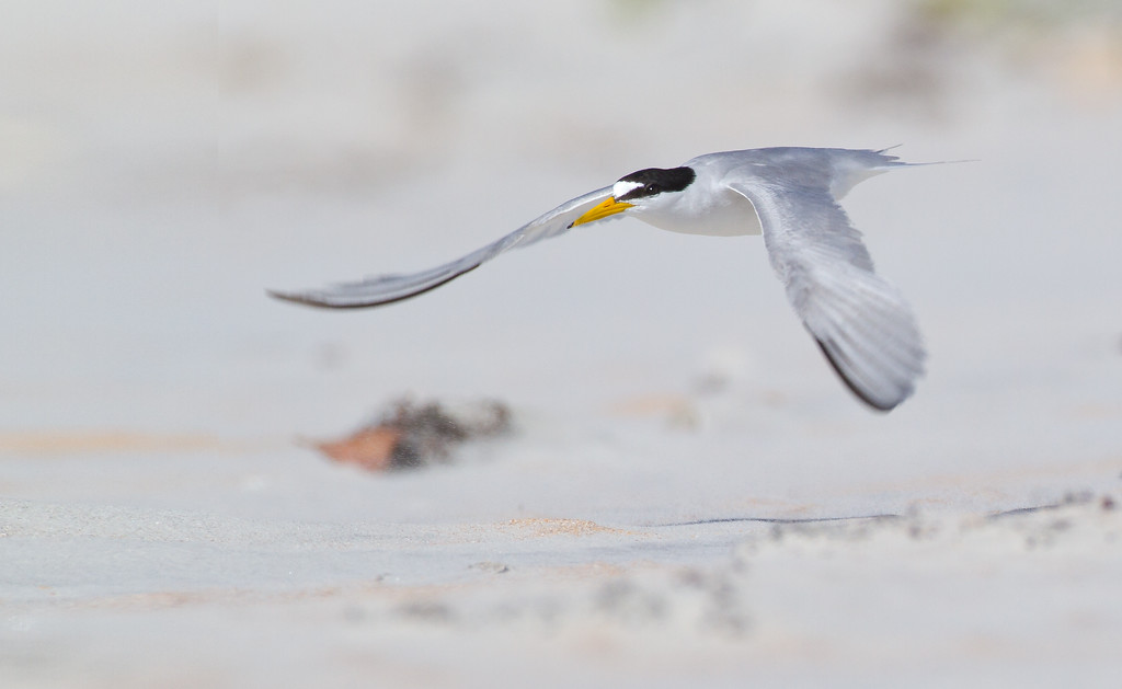 "Least Tern - the wind was blowing a steady 20 mph creating some interesting shooting conditions. If you look closely you can see the little specs of sand being blown around. Took sometime to clean the gear after this trip.    <a href=""http://www.wklein.smugmug.com"">http://www.wklein.smugmug.com</a>"