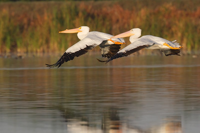 The take off - American White Pelican www.wklein.smugmug.com